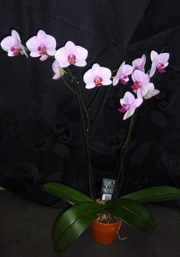 Orchidée-phalaenopsis