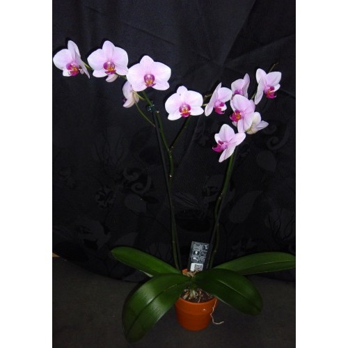 orchid e phalaenopsis. Black Bedroom Furniture Sets. Home Design Ideas