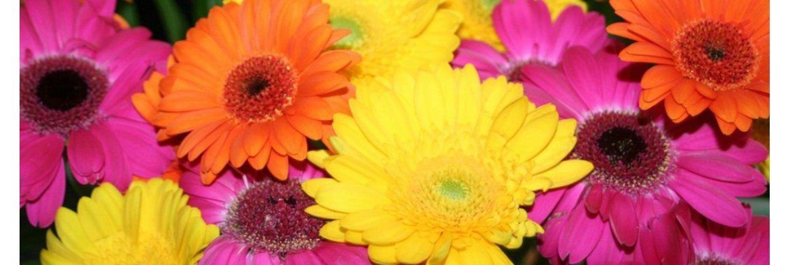 gerbera couleurs varies